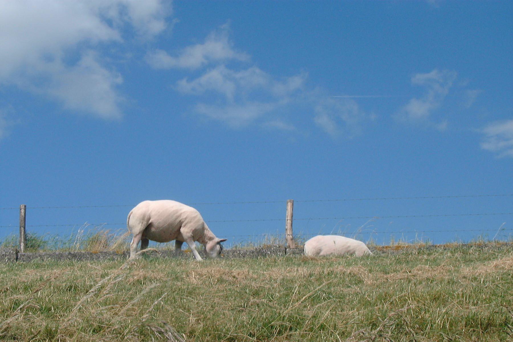 Grazende schapen aan het Hollands Diep